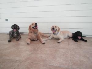 dog-play