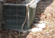 Da Snake