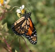 A Monarch!